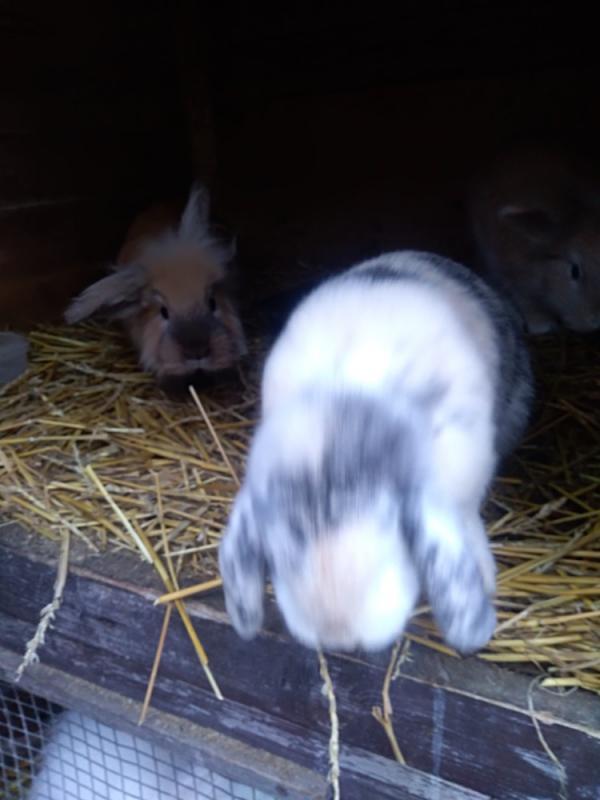 Zakrslí králíci